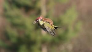 England: Un bébé belette prend son envol sur le dos d'un pic-vert